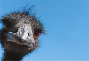 Mr. Emu  (Dad)