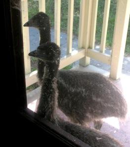 Emus Callilng