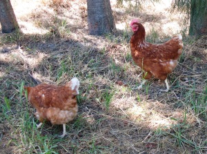 Here come the chickens