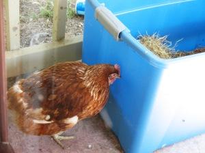Chicken chicken.