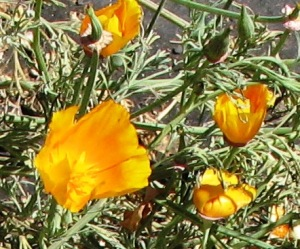 Regular California Poppies