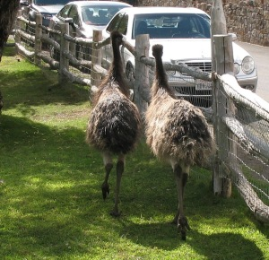 Emus wandering off to their royal duties.