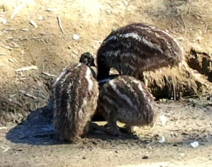 Emu Huddle--For these last pics, I asked Deb where the fourth emu was. Apparently, Number Four was occupied pecking at her red shoes!