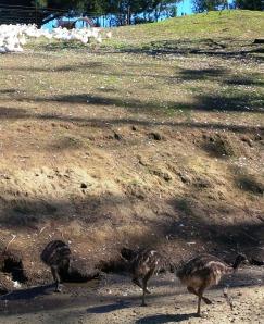 Ducks above, emus below.