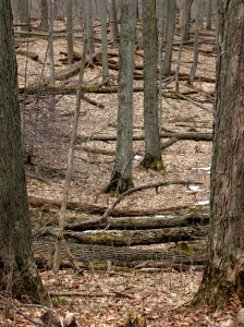 The forest floor, now visible, is littered with the fallen ash trees, victims of the Emerald Ash Borers.
