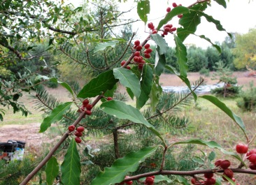 With olive-like leaves