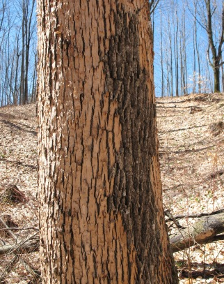 This ash is doomed. Pileated woodpeckers have  chipped off the bark surface to get at the borers, below.