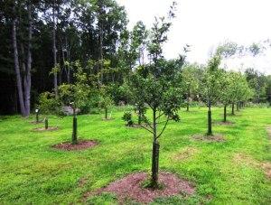 Orchard Dreams
